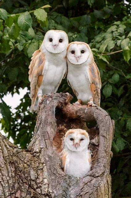 barn owl family science and nature science pinterest