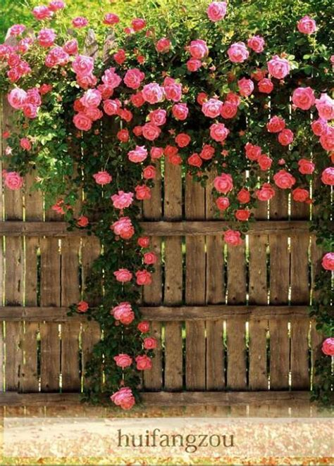 Hot Sale 100 Seeds Climbing Rose Seeds Plants Spend
