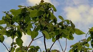 Kleiner Baum Mit Breiter Krone : trompetenbaum catalpa bignonioides garten wissen ~ Michelbontemps.com Haus und Dekorationen