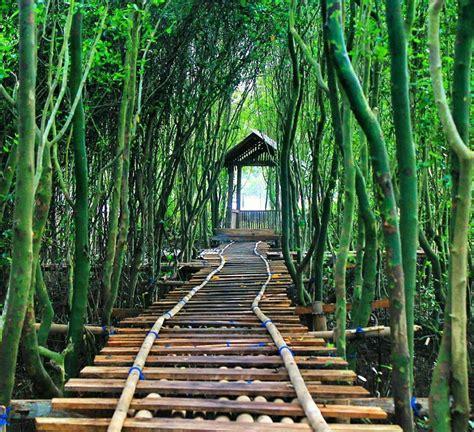 hutan mangrove pantai congot lokasi hutan mangrove kulon