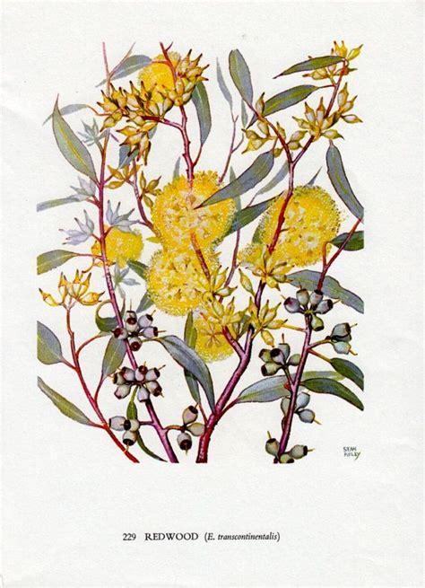 australian gum tree  yellow flowers native eucalyptus