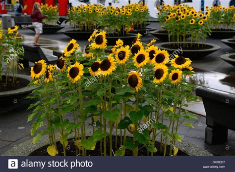 growing sunflowers in pots sunflowers growing in concrete pots containers amsterdam airport stock photo royalty free image