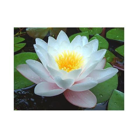 Ulei esential de Floare de Lotus - Sell It