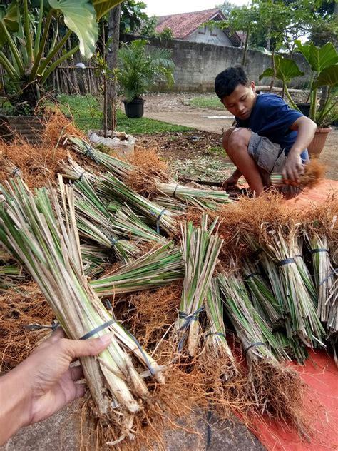 petani rumput vetiver akar wangi rp 500 bibit harga proyek seluruh indonesia