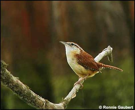 carolina wren south dakota birds and birding