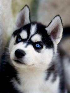 Siberian Husky. What do you mean remove my mask & show my ...