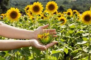 Pflanzen Für Gute Raumluft : sonnenblumen alles zum pflanzen pflegen ernten plantura ~ A.2002-acura-tl-radio.info Haus und Dekorationen