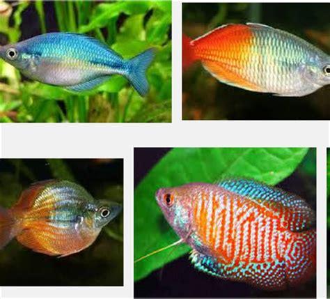Makanan Ikan Hias Rainbow mengenal ikan rainbow boesemani yang menggemparkan dunia
