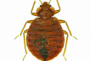 is bed bug heat treatment effective terminix With bed bugs and heat