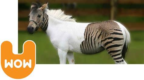 zebra horse horses hybrid zorse zebroid cross zebras between germany animals paint park safari words zonkey