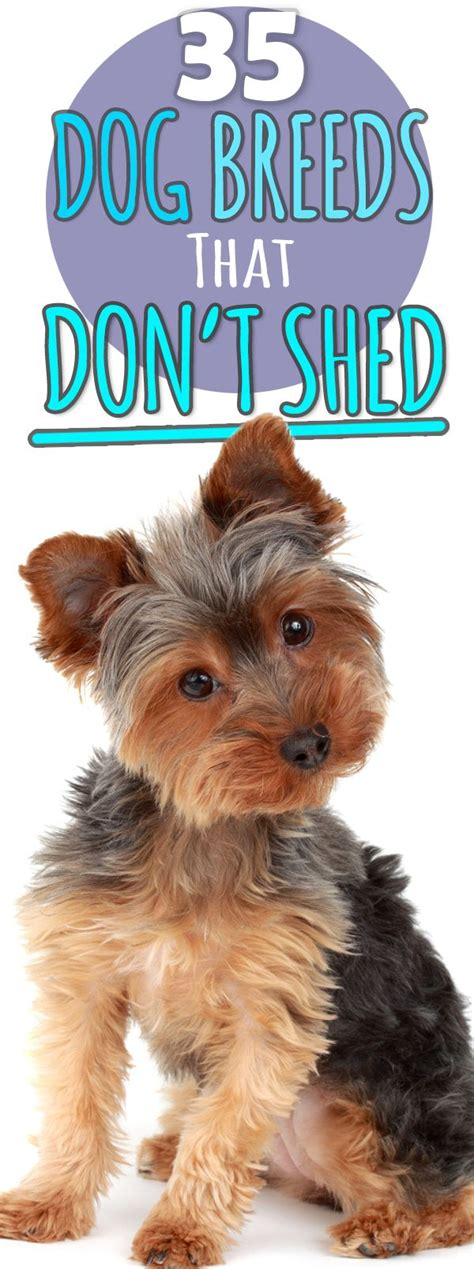 Best For That Don T Shed - best 25 non shedding dogs medium ideas on
