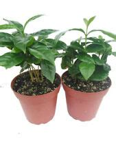 The small round fruits contain the beans. Arabica Coffee Plant   eBay