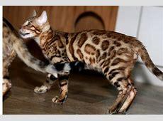 Tieranzeigen Minileoparden Kleinanzeigen