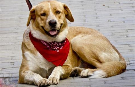 Dog Wearing Red Bandanna Free Stock Photo - Public Domain ...