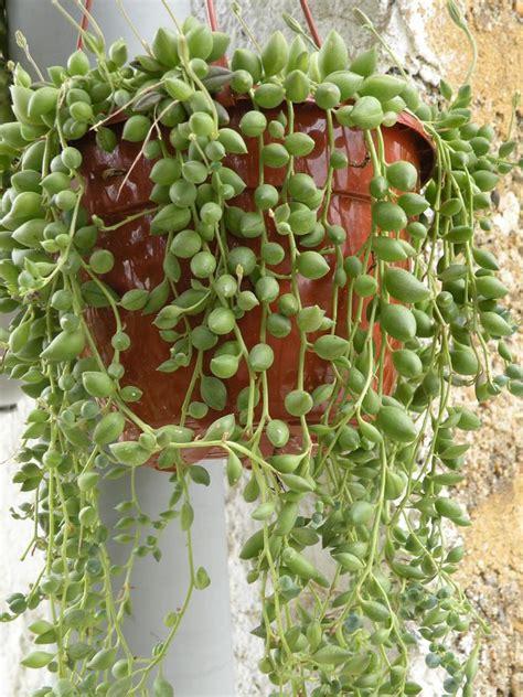 plantes grasses d interieur nazaks