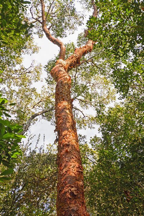 gumbo limbo tree forest simaruba bursera trees chaca everglades florida bark alamy
