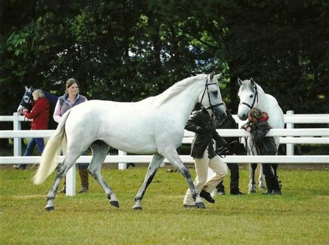 connemara pony natural well very riding athletic put ponies conformation penny lane willing balanced finds easy breeds horsegossip proboards