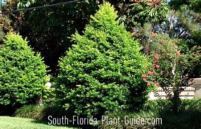 accent trees eagleston holly in a north florida landscape images femalecelebrity