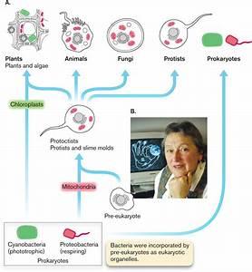 Lynn Margulis Endosymbiotic Theory Pdf