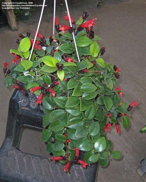 pictures of lipstick plant plantfiles pictures lipstick plant basketvine basket vine aeschynanthus radicans by equilibrium