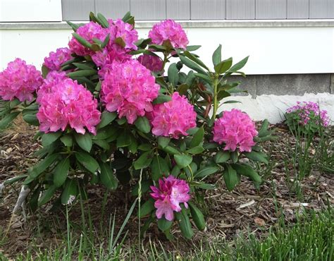 rhododendron trees for sale foam core fantasy foundation plantings