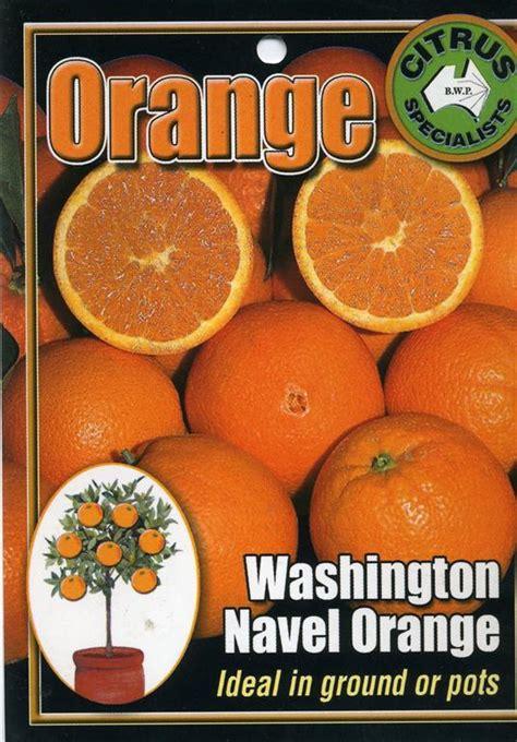 navel orange washington tree fruit trees pots citrus nursery plant fruits daleysfruit ideal
