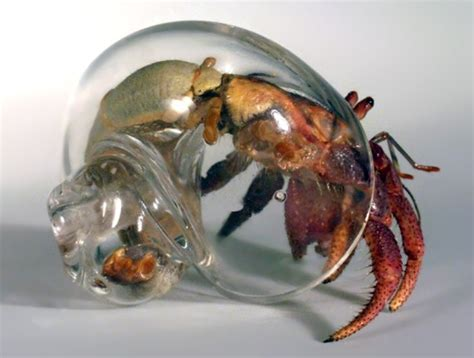 hermit crab without shell calling all hermit crab exhibitionists hand blown glass shells advanced aquarist aquarist