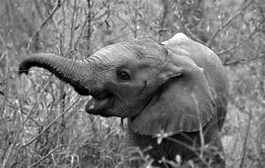 Black And White Baby Elephant Pictures to Pin on Pinterest ...