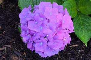 Welche Erde Für Hortensien : hortensien mulchen warum womit und wie ~ Eleganceandgraceweddings.com Haus und Dekorationen