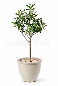 Olivenbaum Im Topf : junge olivenbaum im topf stockfoto colourbox ~ Michelbontemps.com Haus und Dekorationen