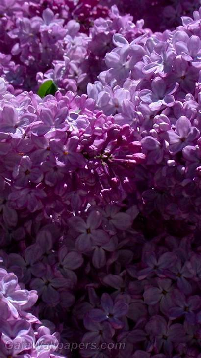 Lilac Desktop Wallpapers