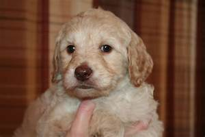 Caramel Male Labradoodle | Coulee Labradoodles