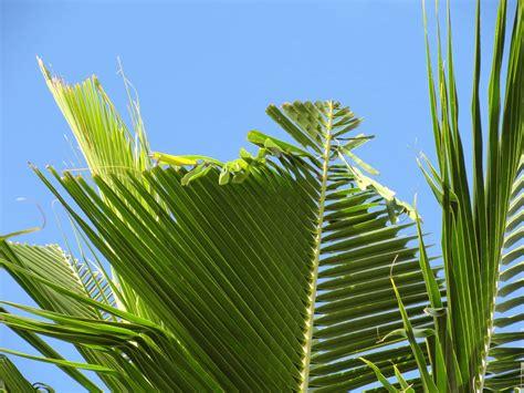 plant industry division coconut rhinoceros beetle