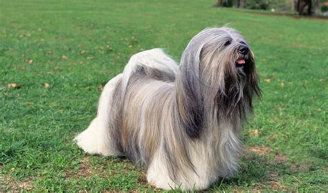 lhasa apso breed shedding lhasa apso breed information