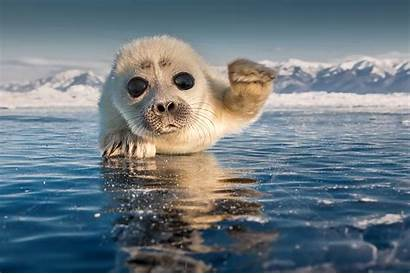 Seal Pup Ice Baikal Adorable Lake Wave