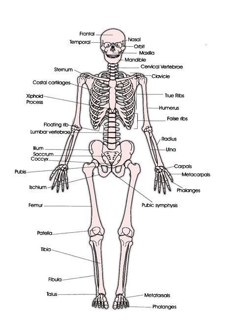 Basic Bone Diagram by Faith Raspberry Skeleton