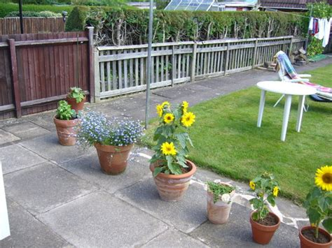 my garden growing sunflowers in pots and cucumber grows on you