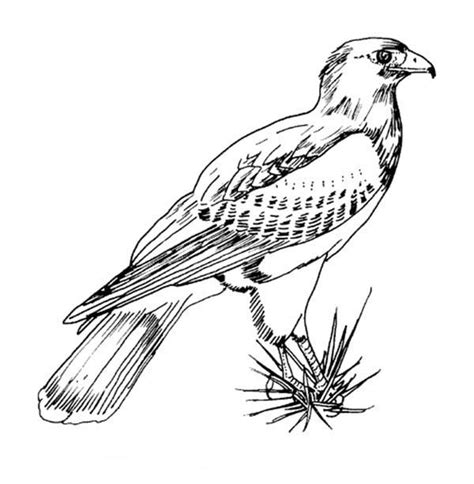 awesome picture  hawk bird coloring page color luna