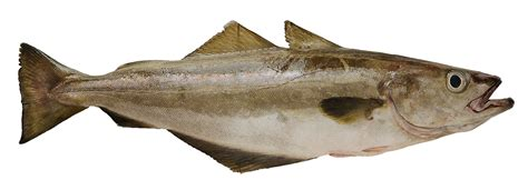 cuisiner cabillaud les poissons cuisine à l 39 ouest