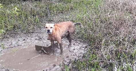 abused dog rescued   tied  cinder block left