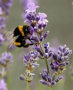 Lavender Bee Pollinating