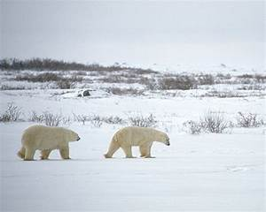 The Impact of Climate Change on Polar Bears | Discovery ...