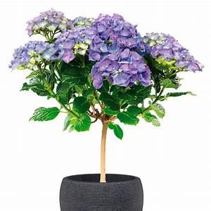 Ahrens Und Sieberz Versand : hortensien st mmchen blau online kaufen bei ahrens sieberz ~ Lizthompson.info Haus und Dekorationen