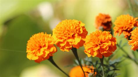 marigold wallpapers high quality