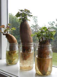 culture des pommes de terre douces sucr 233 doux and