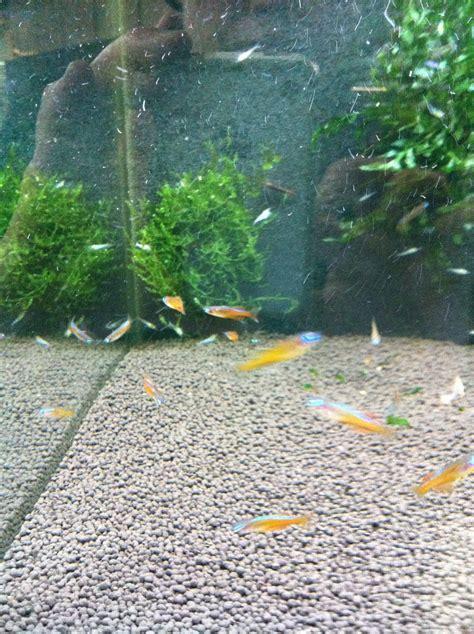 Aquascaping Forum - pseudomugil sp paskai neon fische aquascaping