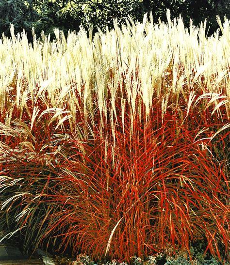 Ziergras Indian Summer 1apflanzen Kaufen Baldurgarten