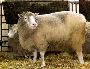 Transgenic Animals Dolly | www.pixshark.com - Images ...