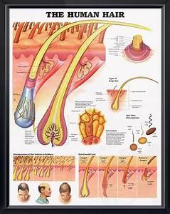 The Human Hair Chart 20x26