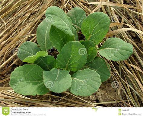 cuisine choux de bruxelles jeunes plantes de choux de bruxelles photos stock image